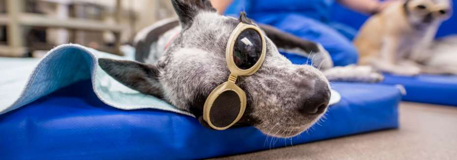 Integrative medicine shot of dog with goggles.