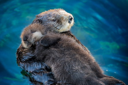 Sea otter mother and newborn