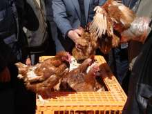 Beneficiaries receiving hens in Jdaydet Artooz. The effect of the civil war on livestock and poultry production systems in Syria has been significant, as production has dropped by 50 percent, according to surveys conducted by UN FAO in the region. (Copyright FAO/Syria)