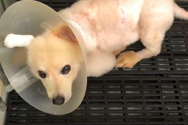 Canine melioidosis