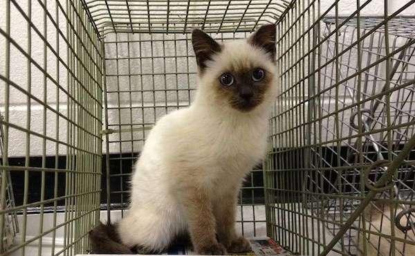 Siamese kitten at an Operation Catnip TNR clinic