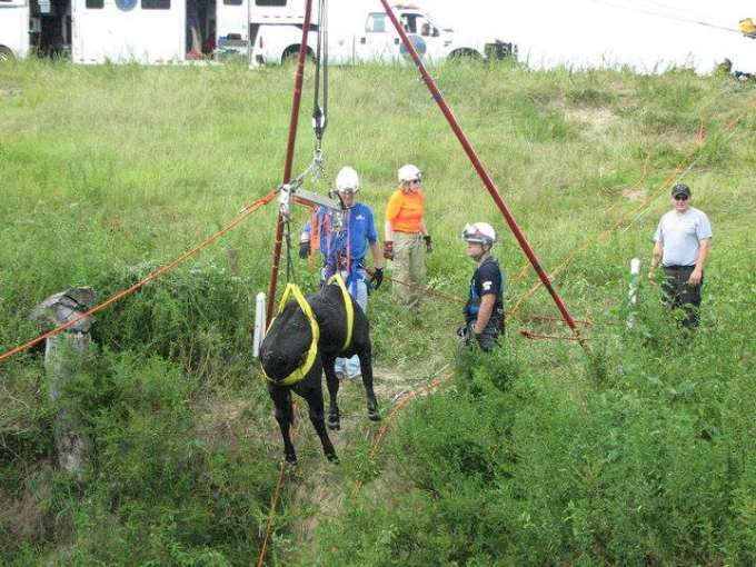 High angle cow rescue