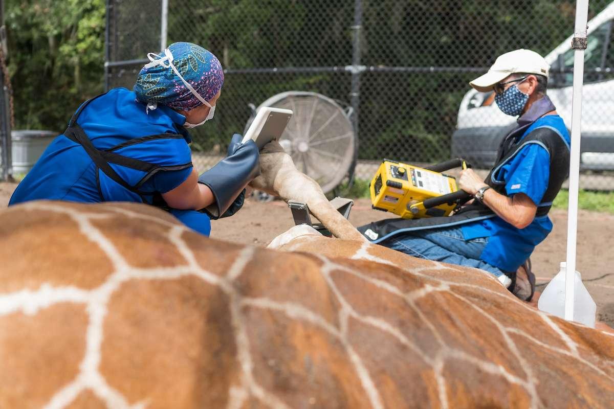 Technicians and giraffe