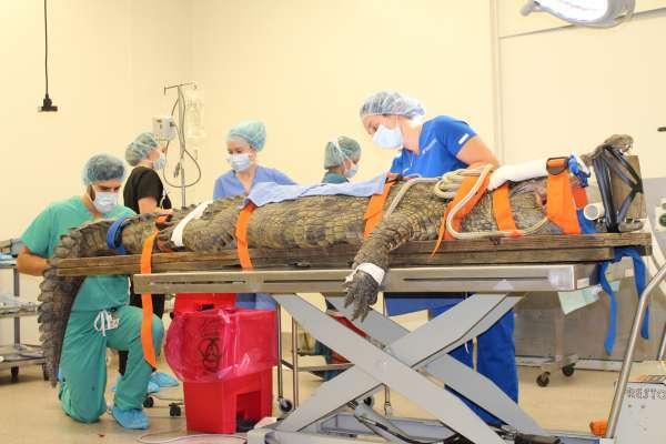 Croc surgery
