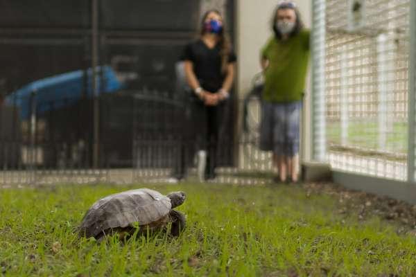 gopher, tortoises, vet med