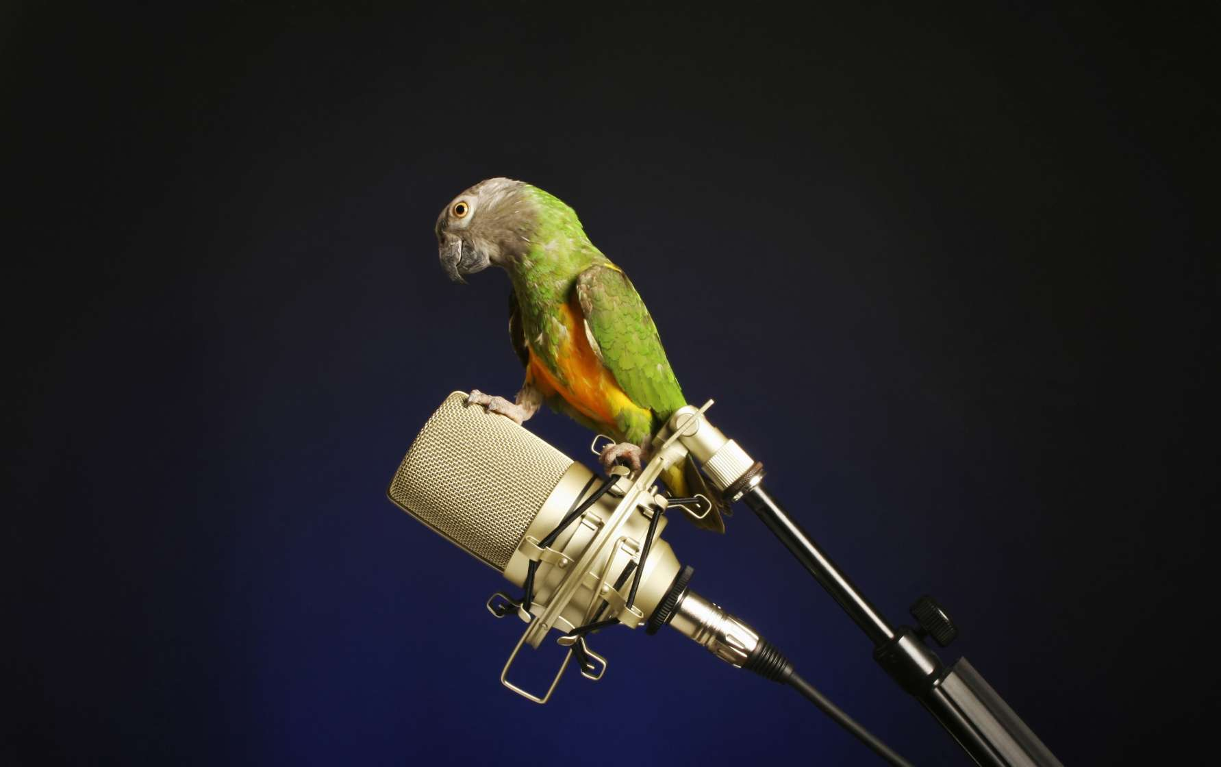 parakeet, microphone, podcast